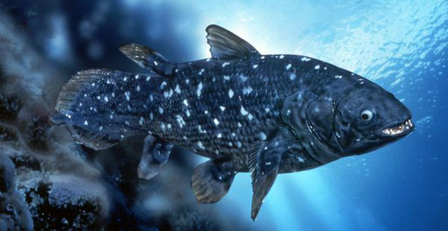 Unknown population of coelacanths discovered biology for Types of bony fish