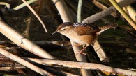 Marsh Wren foraging in the reeds (Alan Vernon)