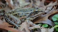 The newly discovered frog species Rana sp. nov. (Brian Curry)