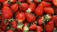 Strawberries (Ken Hammond / USDA ARS)
