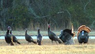 A flock of Wild Turkeys in Leon County, Florida (Tim Ross)