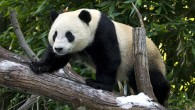 Giant panda Yun Zi at the San Diego Zoo (Ken Bohn / San Diego Zoo)