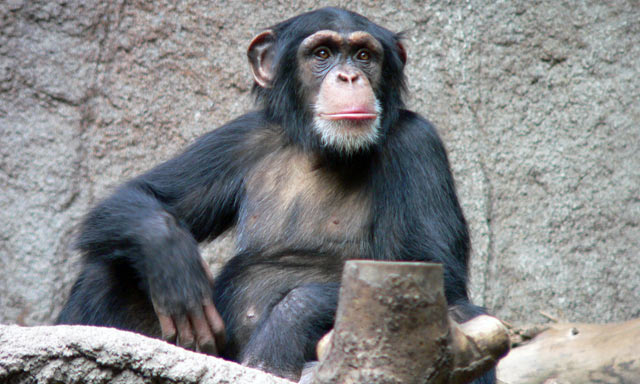 research reveals chimps can create social traditions