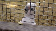 Figaro, the cockatoo that makes and uses stick-type tools to rake in food (Alice M.I. Auersperg et al)