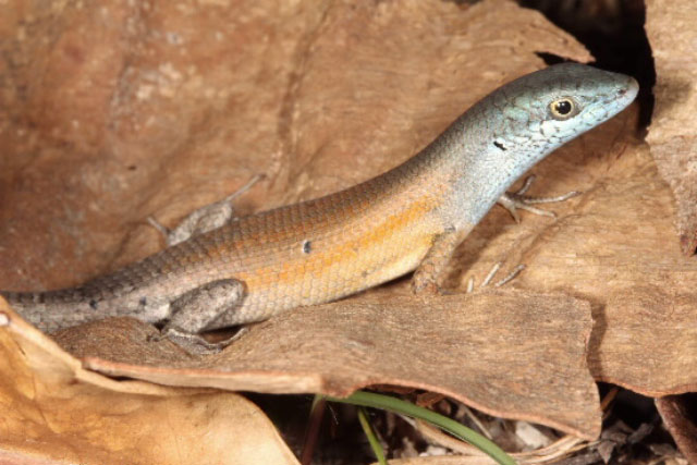 Brightly coloured male of the Orange-flanked Rainbow Skink, photo Hoskin CJ / Couper PJ /James Cook University