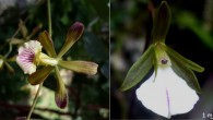 The newly discovered orchids: Encyclia navarroi, left, and Tetramicra riparia (Angel Vale)