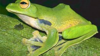 Helens Tree Frog, Rhacophorus helenae (Jodi J. L. Rowley et al / Australian Museum)