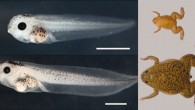 Top: tadpole and adult of Xenopus tropicalis. Bottom: tadpole and adult of Xenopus laevis. Scalebar - 1 mm (Uffe Hellsten et al., 2010)