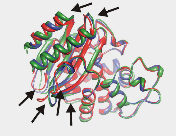 Structural comparison of the TEM-1 -lactamase, the most commonly encountered beta-lactamase in gram-negative bacteria, shown in green, and two resurrected -lactamases, shown in red and blue. Arrows point to structural differences (Valeria A. Risso et al)