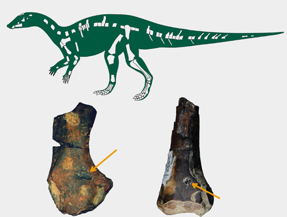 Top: skeletal reconstruction of a new herbivorous dinosaur with known material shown in white. Bottom: dinosaur fossils with bite marks made by crocodyliforms (Boyd CA et al)