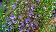 Rosemary, Rosmarinus officinalis, at the Botanical Garden KIT, Karlsruhe, Germany (H. Zell / CC BY-SA 3.0)