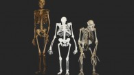 This image shows Australopithecus sediba, center, compared to the skeleton of a modern human, left, and a chimpanzee, right (Lee Berger / University of the Witwatersrand)