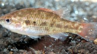 The Little Pygmy Perch, Nannoperca pygmaea, is found in Western Australia (Murdoch University, via freshwaterfishgroup.com)