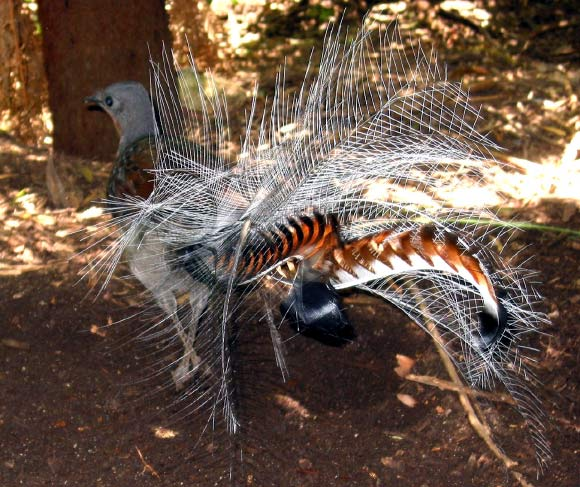dancing superb lyrebirds surprise ornithologists biology sci