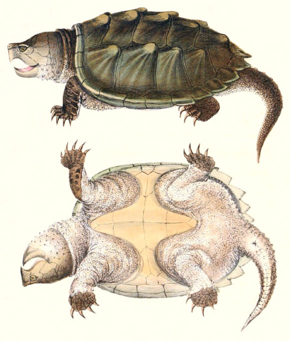 Alligator Snapping Turtle is Actually Three Species, Study Finds ...