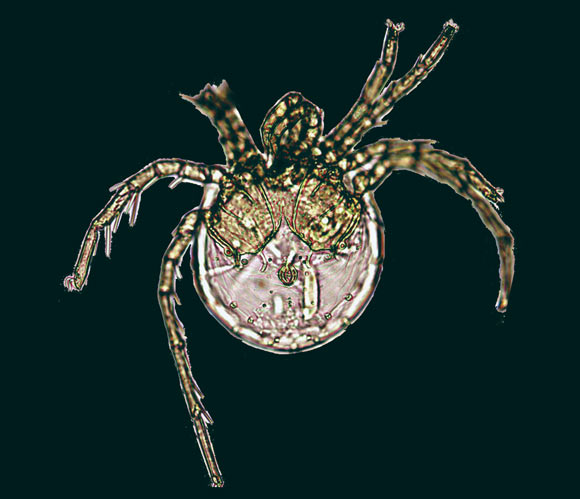 New Species of Mite Discovered in Puerto Rico, Named after Jennifer Lopez | Biology | Sci