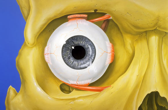 Normal anatomy of the human eye and orbit, anterior view. Image credit: Patrick J. Lynch / CC BY 2.5.