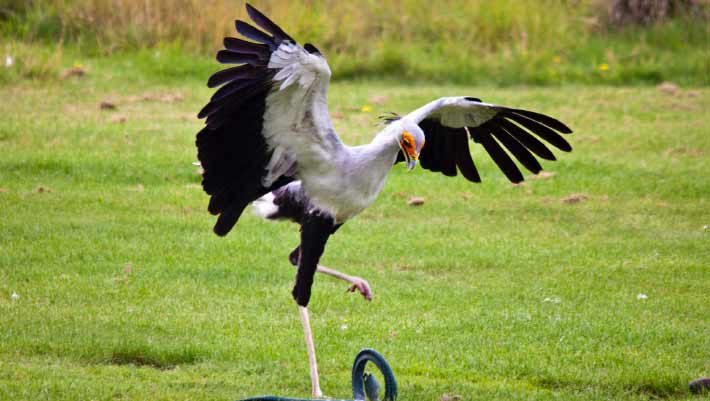 Study Secretary Birds Stamp On Their Prey With Force 5 Times Their Weight Biology Sci News Com