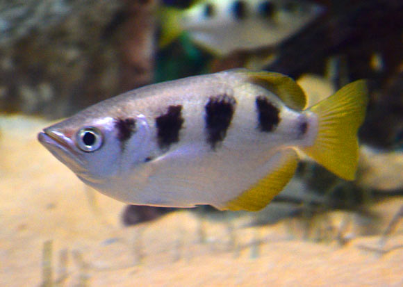 Archerfish (Toxotes chatareus). Newport et al. found that archerfish could be trained to discriminate a learned face from a large number of other human faces even when some trivial cues had been removed. Image credit: Esquilo / CC BY-SA 3.0.