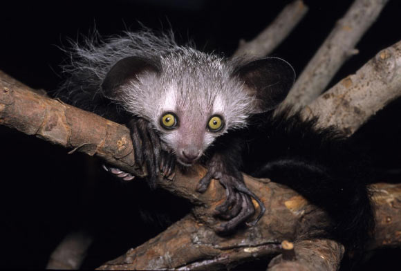 True Facts About The Aye Aye Will Give You Adorable