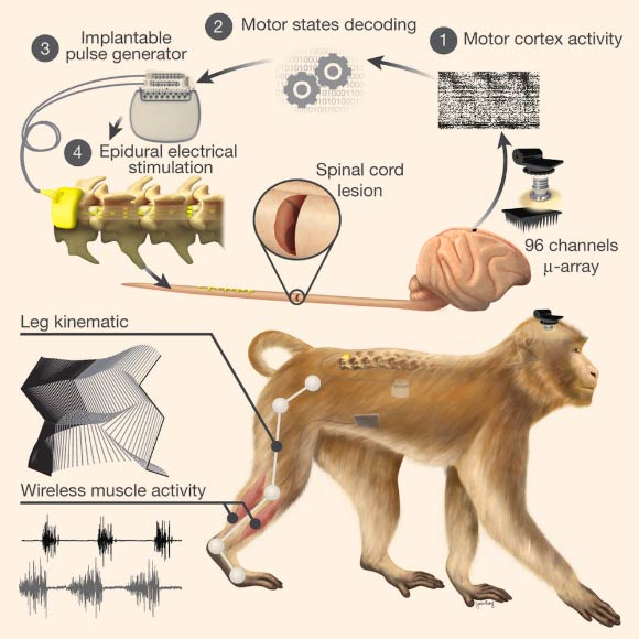 running gait phases diagram neuroscientists restore leg movement in nonhuman primates running lights wiring diagram