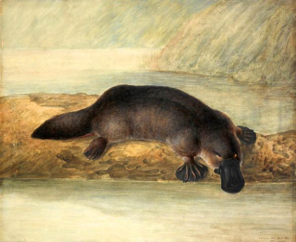 Platypus Venom Could Hold Key to Successful Treatment of Type 2 Diabetes