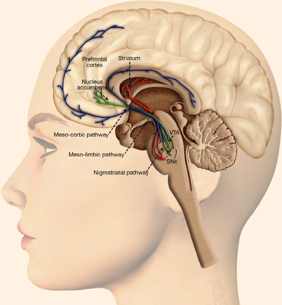Dopaminergic system and reward processing: dopaminergic neurons are located in the midbrain structures substantia nigra (SNc) and the ventral tegmental area (VTA); their axons project to the striatum (caudate nucleus, putamen and ventral striatum including nucleus accumbens), the dorsal and ventral prefrontal cortex; the mesolimbic dopamine pathway mediates the psychopharmacology of reward, whether that is a natural high or a drug-induced high, and is sometimes referred to as the pleasure center of the brain, with dopamine as the pleasure neurotransmitter. Image credit: Oscar Arias-Carrion et al, doi: 10.1186/1755-7682-7-29.