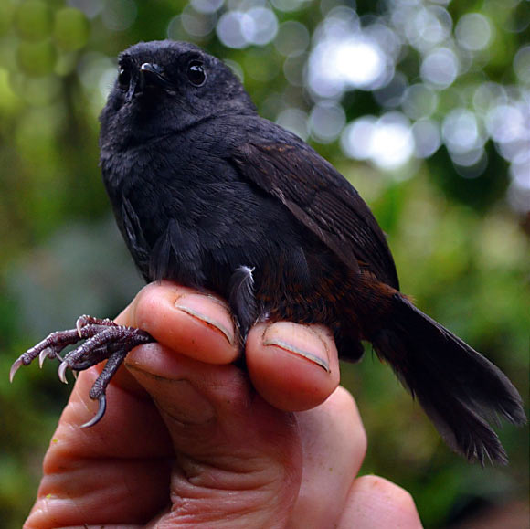 New bird species identified from the cloud forests of Colombia's Western Andes