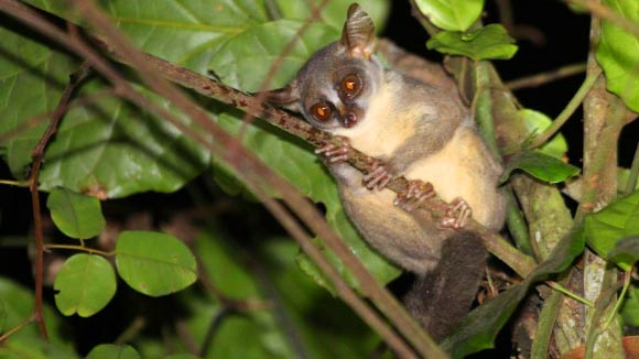 New Species of Dwarf Galago Discovered in Angola