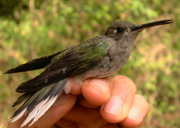 New Hummingbird Species Discovered