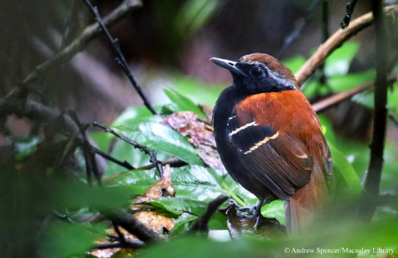 A New Species of Antbird, named for E O Wilson