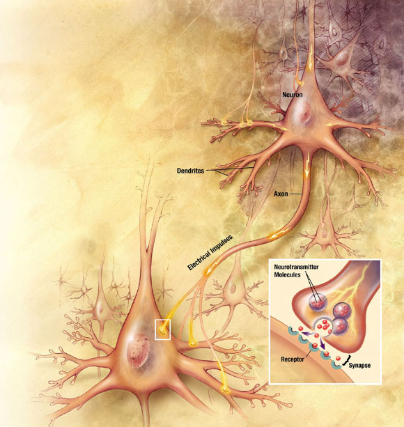 Study Identifies First Brain Cells that Respond to Sound Image_5555-Neurons
