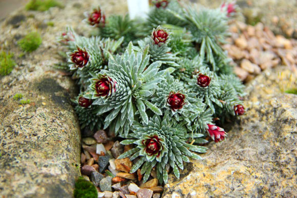 Saxifraga sempervivum, a species of alpine plant in Cambridge University Botanic Gardens, 'produces pure vaterite.' Image credit: Paul Aston.
