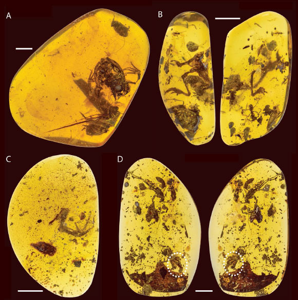 Photographs of four fossil frog specimens referred to Electrorana, including the holotype (A) and three additional specimens (B-D); specimens in (B) and (D) are presented with two views of the amber specimen and the oval in (D) indicates the presence of the frog specimen. Scale bars - 5mm. Image credit: Xing et al, doi: 10.1038/s41598-018-26848-w.