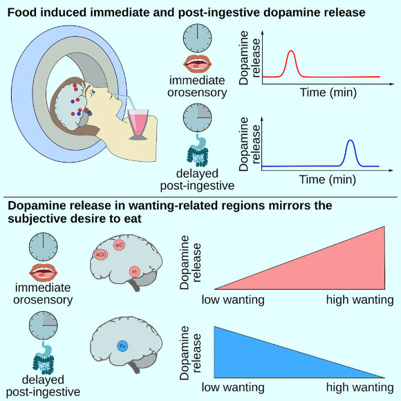Study: Our Brain Rewards Us Twice Per Meal | Neuroscience, Nutrition