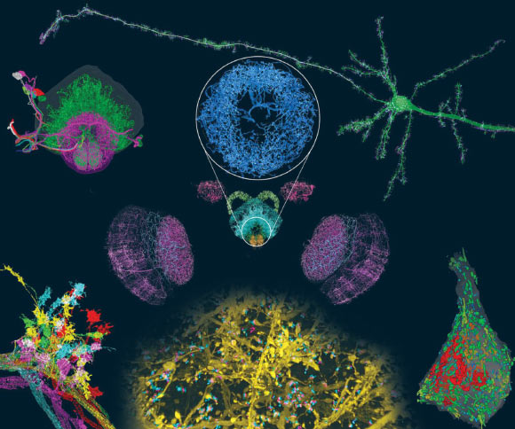 ExLLSM (light microscopy expansion / lattice) visualizes neuronal structures with molecular contrast in millimeter scale volumes, including mouse pyramidal neurons (clockwise) and their processes; organic morphologies in somata; dendritic spines and synaptic proteins through the cortex; Stereotypy of the projections of neurons in Drosophila; Projection neurons traced to the central complex; and dopaminergic neurons (center) throughout the brain, including the ellipsoid body (circular insertion). Image credit: Gao et al, doi: 10.1126 / science.aau8302.