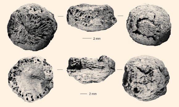 Two charred rhizomes from Border Cave. Scale bars - 2 mm. Image credit: Wadley et al, doi: 10.1126/science.aaz5926.