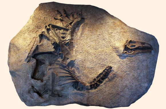 A cast of the skeleton and skull of Allosaurus jimmadseni as it was discovered and now on exhibit at Dinosaur National Monument in Utah. Image credit: Dan Chure.