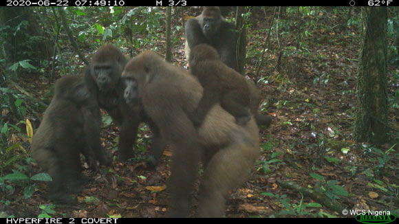 Cross River gorilla (Gorilla gorilla diehli) group including adults and young of different ages in the Mbe Mountains, Nigeria. Image credit: WCS Nigeria.
