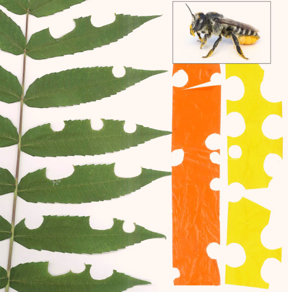 Leaf-Cutter Bees Use Plastic in Nest Construction, Study Says