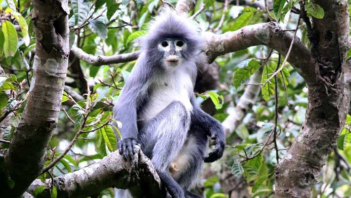 New Species of Primate Discovered in Myanmar