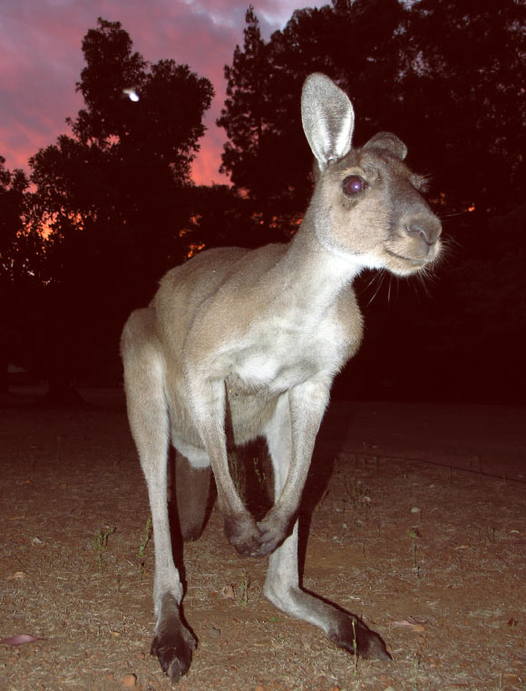 Study: Kangaroos Can Intentionally Communicate with Humans