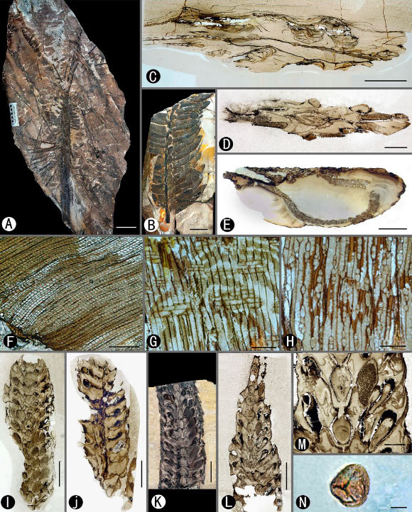 Paratingia wuhaia: (A) holotype with an entire crown consisting of pseudostrobili and leaves; (B) once-pinnate compound leaf with both large and small pinnules visible; (C) cross-section of a crown illustrating pseudostrobili around the stem; (D) cross-section of pseudostrobilus with microsporangia around the axis with bilateral, inversed Ω-shaped vascular bundle; (E) cross-section of a leaf rachis showing the same form of vascular bundle as that of pseudostrobili axes; (F-H) partial cross, radial, and tangential sections of the stem showing the secondary xylem (wood); (I) tangential section of pseudostrobilus showing sporangial arrangement with single line of megasporangia along with the axis; (J) radial section of pseudostrobilus showing adaxial sporangia and axis lacking nodes; (K) tangential section showing adaxial sporangia and a single line of megasporangia along with the axis; (L) tangential section through same specimen as K showing megasporangial arrangement; (M) detail of the middle part of L showing the megasporangia and microsporangia; (N) single spore macerated from the holotype. Scale bars - 10 cm (A), 3 cm (B), 1 cm (C-E), 100 μm (F), 200 μm (G and H), 5 mm (I-L), 2 mm (M), 10 μm (N). Image credit: Wang et al., doi: 10.1073/pnas.2013442118.