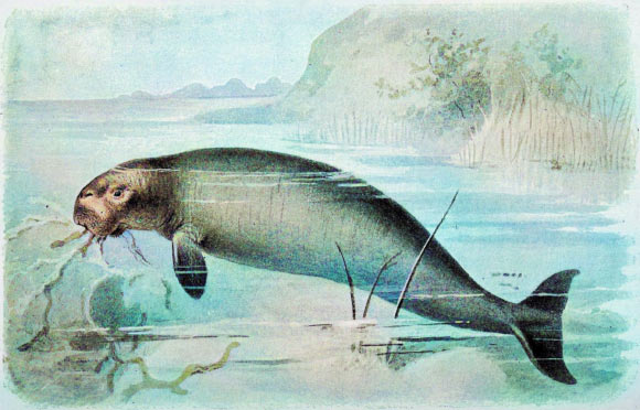 Life reconstruction of the Steller's sea cow (Hydrodamalis gigas). Image credit: Biodiversity Heritage Library / Sci-News.com.