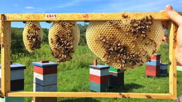 Honeybees begin constructing honeycombs in multiple locations, which they will eventually bridge together. Image credit: Michael Smith / Cornell University.