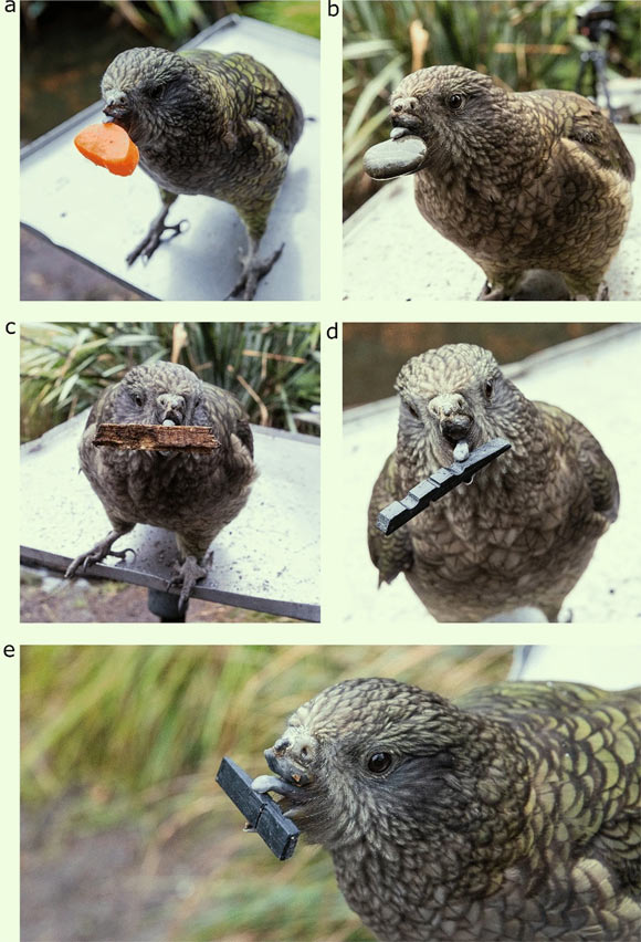 Photographs of Bruce handling objects larger than his preening pebbles, namely: (a) a slice of carrot, (b) a stone, (c) a piece of bark, (d) a black token used in previous cognitive experiments he was a part of; a close-up image (e) demonstrates how he uses his tongue and lower mandible to hold these objects. Image credit: Bastos et al., doi: 10.1038/s41598-021-97086-w.