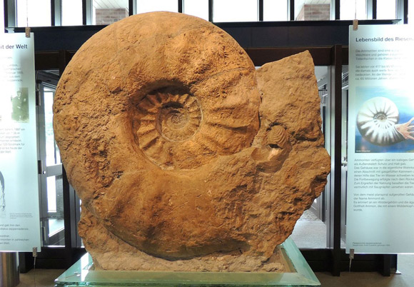 The world's largest ammonite specimen (1.8 m in diameter) housed in the Munster Natural History Museum, Germany. Image credit: Christina Ifrim.