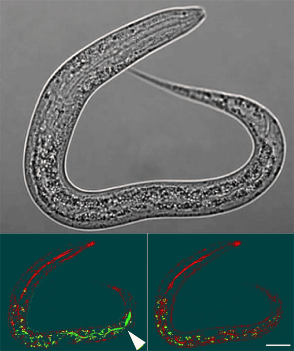 Worm Mothers Provide Milk-Like Fluid for Their Offspring thumbnail
