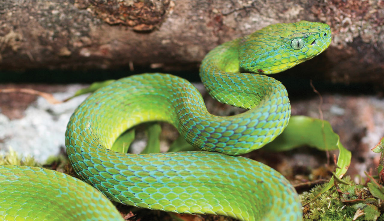Male Bothriechis guifarroi, the newly discovered palm-pitviper from Honduras (photo: Josiah H. Townsend)