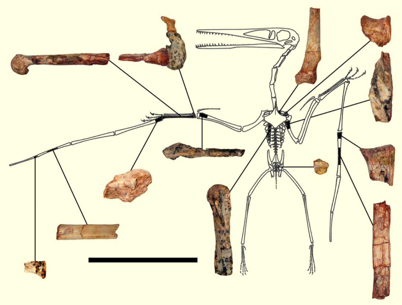 Kryptodrakon progenitor: Earliest Pterodactyloid Pterosaur ...